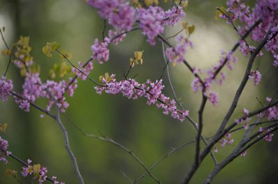 Photo: A redbud tree (Cercis canadensis) in bloom.