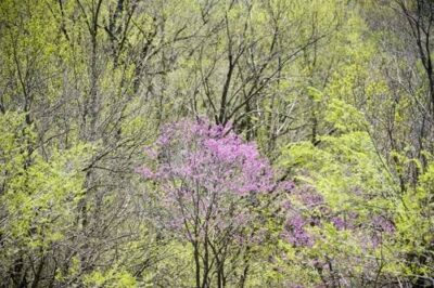 Photo: An eastern redbud tree (Cercis canadensis) blooms in Brownville, Nebraska.