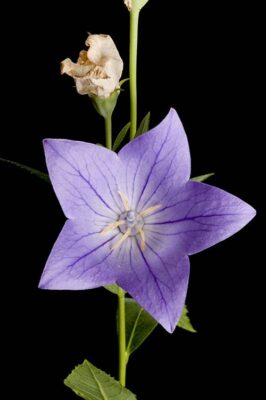 Photo: A Chinese bellflower or balloon flower (Platycodon grandiflorus).