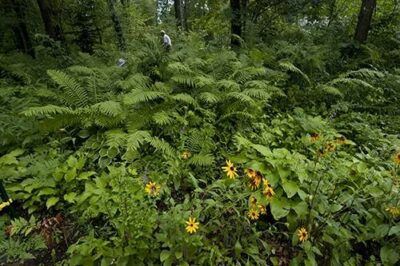 Photo: Ostrich fern (Matteuccia struthiopteris) and other plants near Crosslake, Minnesota.