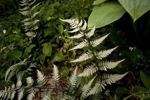 Photo: Japanese painted fern (Athyrium niponicum pictum) near Crosslake, Minnesota.