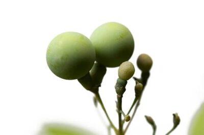 Photo: A white baneberry (Actaea pachypoda) plant.