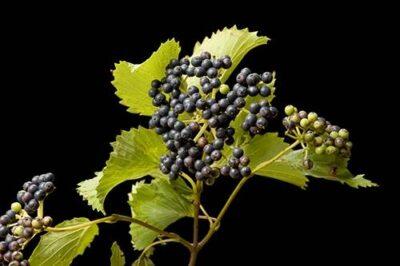 Photo: An arrowwood viburnum (Viburnum dentatum) shrub.