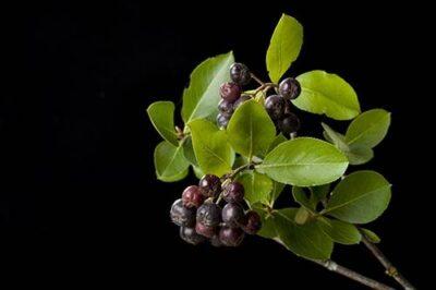 Photo: A black chokeberry (Aronia melanocarpa) plant.