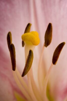Photo: A lily (Lilium sp.) flower.