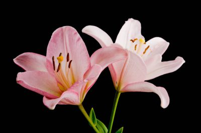 Photo: Lily (Lilium sp.) flowers.