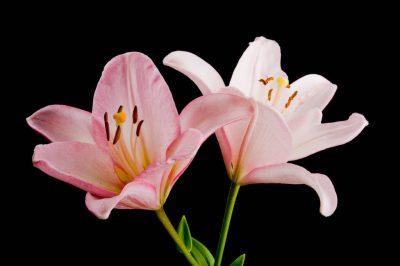 Photo: Lily (Lilium sp.) flowers.