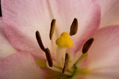 Photo: A lily (Lilium sp.) flower.