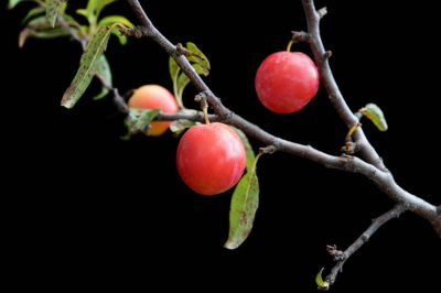 Photo: A wild sand plum tree (Prunus Americana).