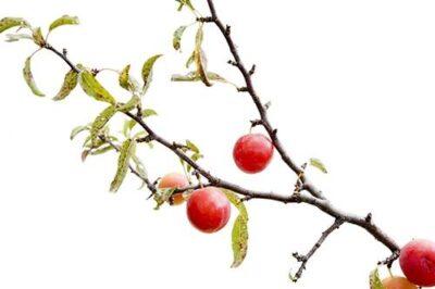 Photo: A wild sand plum tree (Prunus Americana).