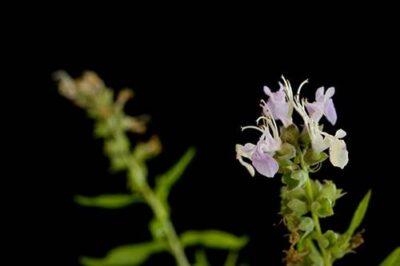 Photo: An American germander (Teucrium canadense) plant.