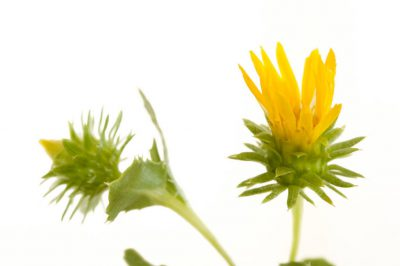 Photo: A curly-top gumweed (Grindelia squarrosa) plant.