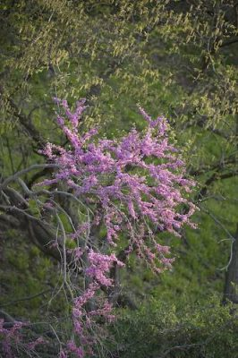Photo: A redbud tree (Cercis canadensis) in bloom along the Steamboat Trace trail between Nebraska City and Peru, Nebraska.