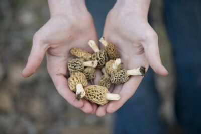 Photo: A person holding morel mushrooms (Morchella esculenta) that were found along the Steamboat Trace trail between Peru and Nebraska City, Nebraska.