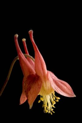 Photo: An American columbine (Aquilegia canadensis) plant.
