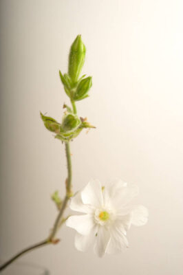 Photo: A white campion (Silene partensis) plant.