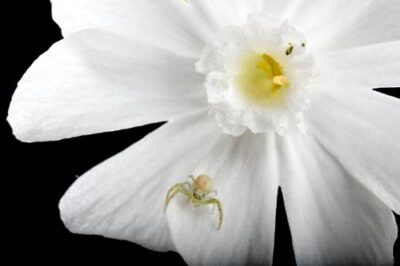 A crab spider (Araneae) on a white campion (Silene partensis) plant.