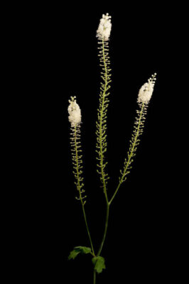 Photo: A black cohosh (Actaea racemosa or Cimicifuga racemosa) flower.