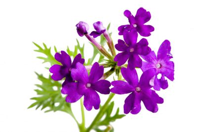 Photo: Tapien blue-violet verbena (Verbena hybrid) flowers.