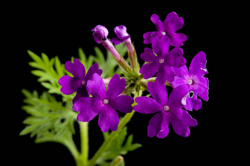 Picture of Live Verbena Tapien Blue Violet Plant Fit 1QRT Pot