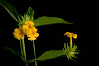 Photo: A lemon drop (Lantana montevidensis) plant.