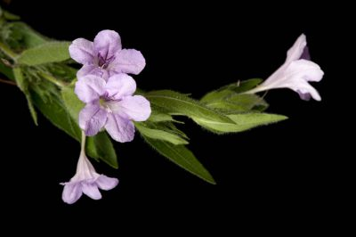 Photo: A prairie petunia or fringeleaf petunia (Ruellia humilis) flower.