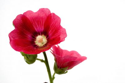 Photo: A common hollyhock (Alcea rosea) flower.