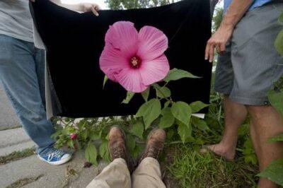 Photo: A hibiscus (Hibiscus sp.) flower.