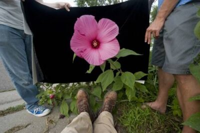 Photo: A hibiscus (Hibiscus sp.) flower.
