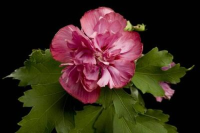 Photo: A rose of Sharon flower.
