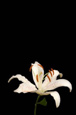 Photo: A muscadet oriental lily (Lilium 'Muscadet').