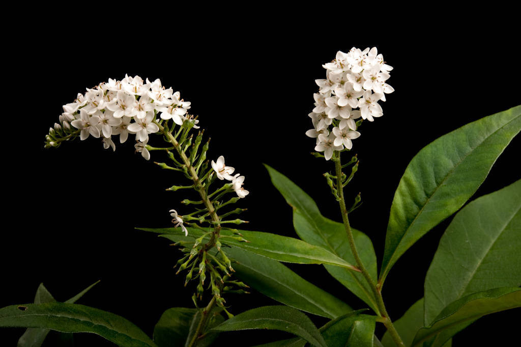 Photo: Gooseneck loosestrife (Lysimachia clethroides).