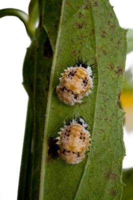 Lady bug pupae (Coccinellidae) attach to the underside of a Goldsturm Rudbeckia, Rudbeckia fulgida.
