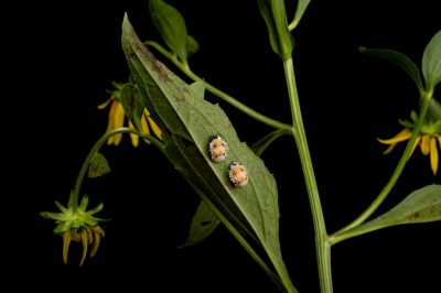 Lady bug pupae (Coccinellidae) attach to the underside of a Goldsturm Rudbeckia, Rudbeckia fulgida.