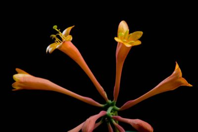 Photo: Honeysuckle (Lonicera sp.) flowers.