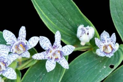 Photo: Toad lillies (Tricyrtis hirta).