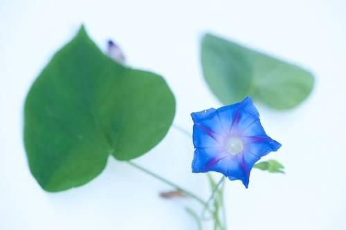 Photo: A studio portrait of a moonflower.