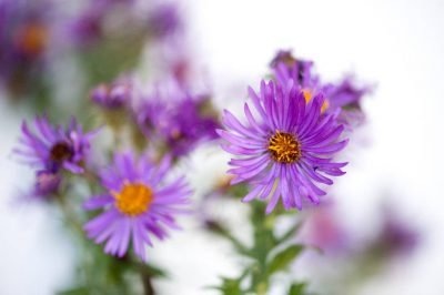 "Photo: Aster ""Hella lacy"" (Aster novae-angliae var."