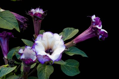 Photo: A studio portrait of purple petticoat moonflowers.