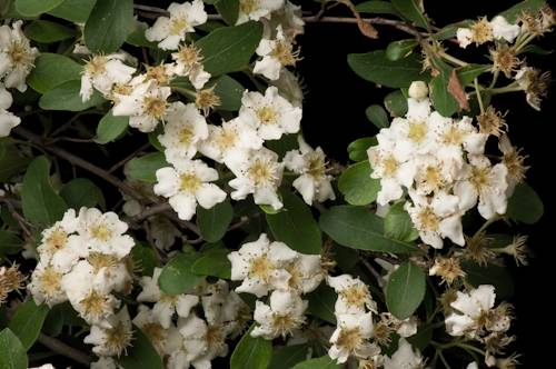 Images of a blooming Stern's medlar (Mespilus canescens), one of the rarest plants in the U.S. This plant is now reduced to just 25 specimens in two locations. This one is located on the grounds of the Missouri Botanical Gardens.