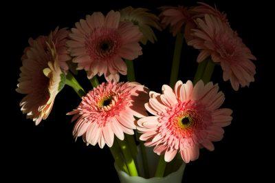 Photo: A portrait of gerber daisies.
