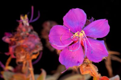 Photo: A flower from the genus Dissotis from the Mt. Gorongosa area.