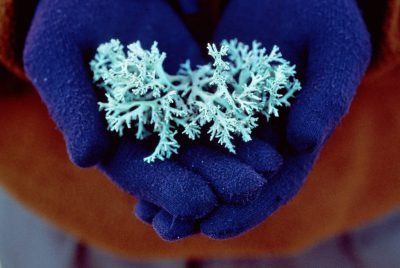 Photo: Perforate reindeer moss, an endangered species, in the hands of a worker at the Archbold Biological Research Station incentral Flordia.