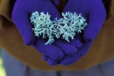 Photo: Perforate reindeer moss (Cladonia perforata), an endangered species, in the hands of a worker at the Archbold Biological Research Station incentral Flordia.