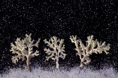Photo: Perforate reindeer lichen appear as white trees under snowfall.