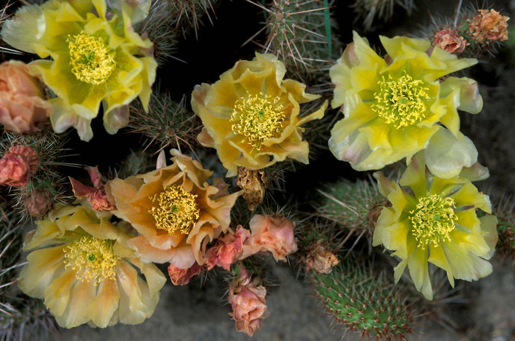 Photo: A blooming prickly pear cactus.