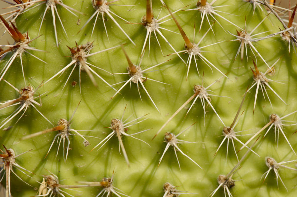 Photo: Close-up of a prickly pear cactus in Montana.