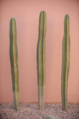 Photo: Cactus at a resort in Scottsdale, Arizona.