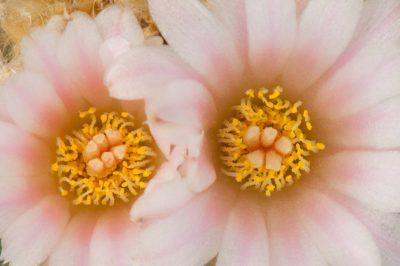 Photo: Peyote cactus (Lophophora williamsii) at the U.S. Botanical Garden Production Facility in Washington, DC.