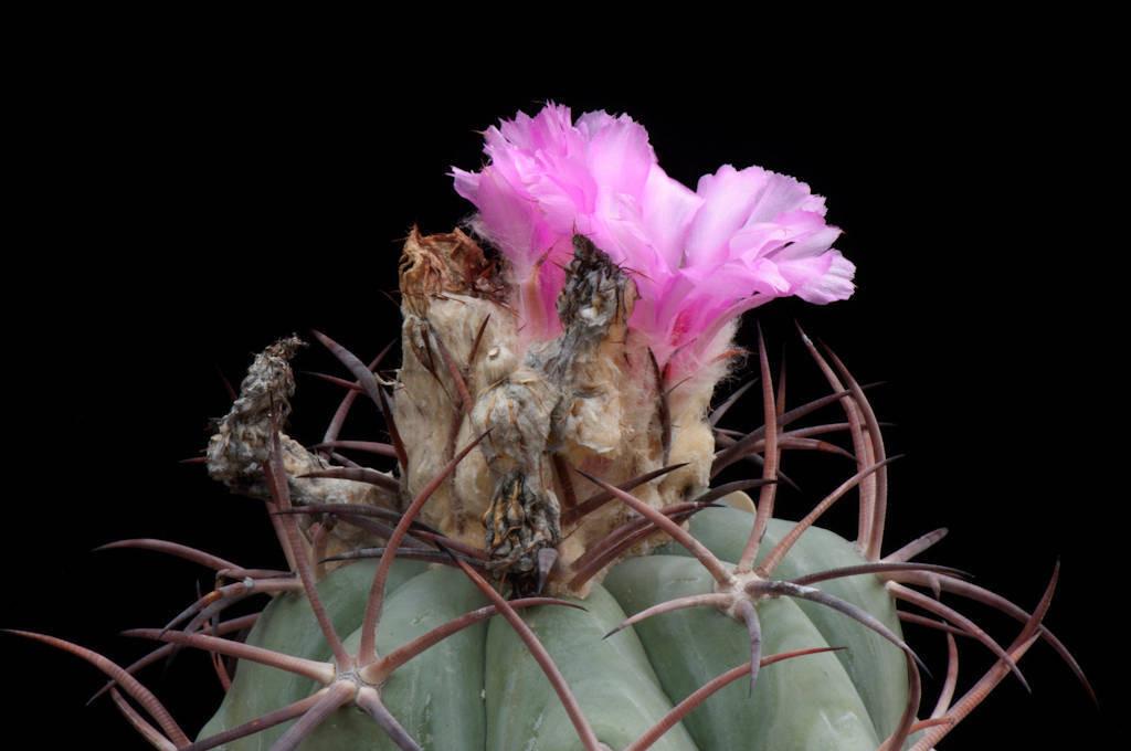 Photo: A federally endangered Nichol's Turk's head cactus (Echinocactus horizonthalonius var. nicholii) in bloom.